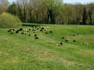 eco-paturage-jardin-decor-paysagiste-baron-mouton-ouessant