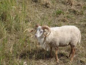 mouton-ouessant-eco-paturage